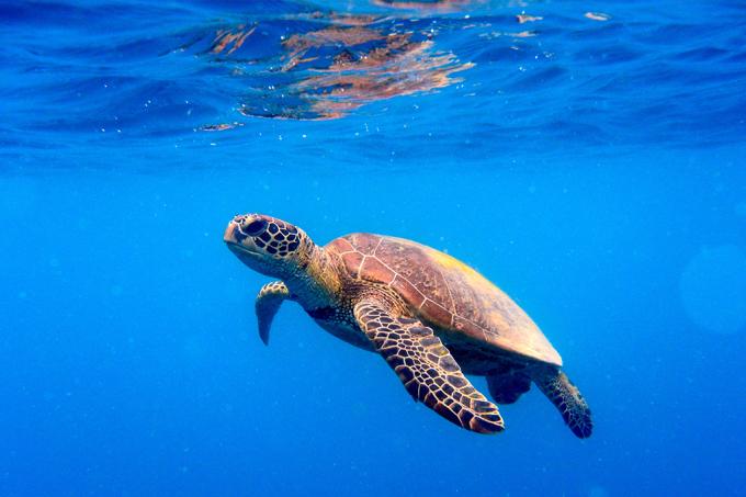 População de tartarugas marinhas voltou a aumentar em todo o mundo