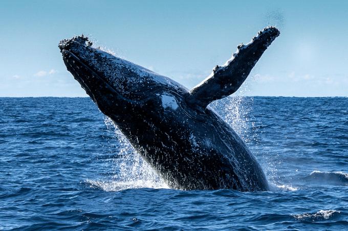 Baleias e golfinhos conversam com seus grupos e têm até dialetos locais