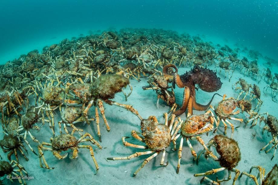 """Polvos e caranguejos não se encontram com frequência. Mas na costa da Tasmânia, na Austrália, tudo é possível. O encontro, é claro, não foi amigável, e terminou em almoço. Adeus, caranguejo! Vencedor na categoria """"comportamento: invertebrados""""."""