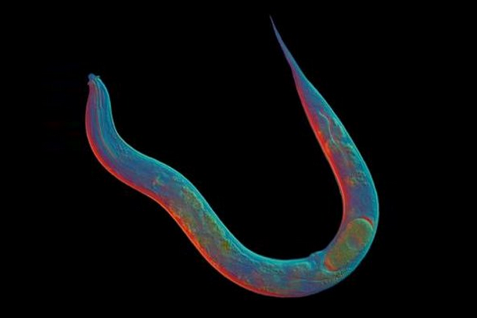 Este verme está há 18 milhões de anos sem sexo