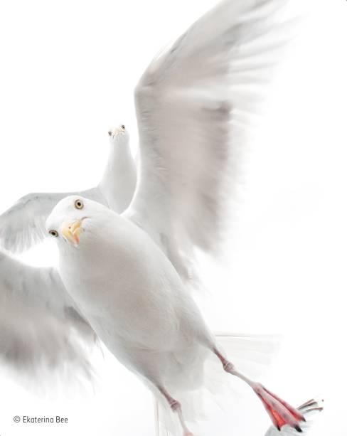 """Gaivotas curiosas descobrem a existência de câmeras fotográficas na costa da Noruega – país onde, de longe, foi feito o maior número de cliques vencedores. A autora da foto, de apenas 5 anos, afirmou que ficou assustada com a proximidade dos bicos e o bater das asas, mas logo se recompôs e registrou a revoada de pássaros que visitava seu barco. Vencedora na categoria """"10 anos ou menos""""."""