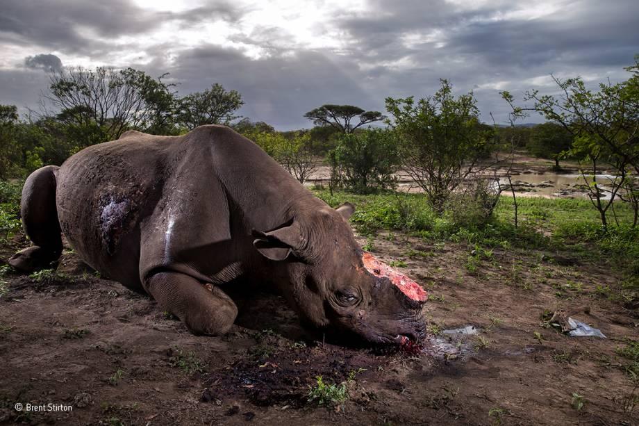 O rinoceronte, ao que tudo indica, foi morto pelos habitantes de uma comunidade local, localizada a cinco quilômetros de distância do parque de<span>Hluhluwe–Imfolozi </span>, na África do Sul. Recebeu dois tiros: um no abdômen, com um rifle de alto calibre equipado com um silenciador, e outro na cabeça, para acelerar sua morte. O objetivo era arrancar seus chifres, valiosos no mercado negro. O animal está em risco de extinção: hoje, há menos de 3 mil rinocerontes vivos na natureza. O registro ganhou o prêmio principal.