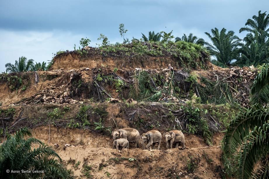 """Na ilha de Bornéu, três elefantes adultos e um filhote observam sua antiga floresta, devastada pela lucrativa exploração do óleo de palma. A subespécie do elefante asiático que habita a ilha se separou do ramo principal há cerca de 300 mil anos, e se desenvolveu isolada de seus parentes continentais – o que explica seu tamanho reduzido. Hoje, restam algo entre mil e 2 mil exemplares, espremidos nos 8% da mata que ainda estão preservados. Em 2013, a situação crítica foi parar nos jornais quando 14 elefantes foram mortos por envenenamento. A foto levou o prêmio na categoria """"fotojornalismo: imagem única""""."""