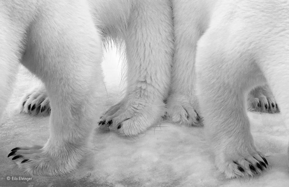 """A autora do clique estava em um navio no Oceano Ártico quando resíduos da cozinha da embarcação escorreram no gelo. O cheiro atraiu a atenção de um urso polar fêmea e seu filhote de dois anos, que costumam ter focas cruas no cardápio. """"Eu fiquei envergonhada com a nossa contribuição para a paisagem imaculada"""", afirmou a autora. A foto venceu na categoria """"preto e branco""""."""