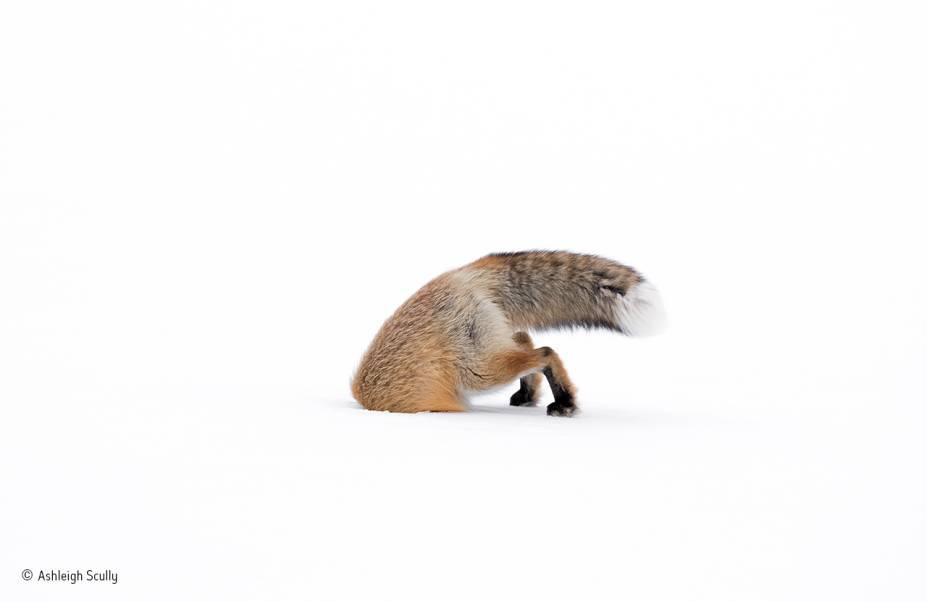 A foto foi feita em um dia de neve no parque de Yellowstone, em Wyoming, nos EUA. Segundo o autor, a raposa fêmea ensaiou um pouco para atacar uma provável presa (o que lhe deu tempo de pegar a câmera), mas, depois do mergulho, passou meros dez segundos com a cabeça enfiada no buraco. Vencedora na categoria de fotógrafos entre 10 a 14 anos.