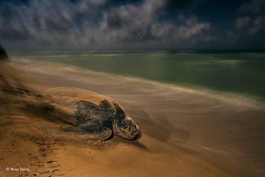 """Tartarugas marinhas da espécie<span>Dermochelys coriacea correm da praia para o mar após saírem dos ovos. A foto foi tirada às duas da manhã na costa das Ilhas Virgens, no Caribe. O tempo de exposição foi extremamente longo para aproveitar a luz tênue da lua cheia.</span>Vencedora na categoria """"comportamento: anfíbios e répteis""""."""