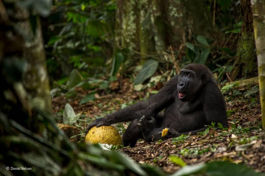 """<div class="""""""">Este é Caco, de nove anos, um habitante do Parque Nacional de Odzala, na República Democrática do Congo. Vendo sua expressão relaxada, é difícil adivinhar que ele está ameaçado de extinção. Caça, doenças contagiosas e a destruição das florestas equatoriais estão entre as principais ameaças ao <span>gorila-ocidental-das-terras-baixas</span>. Registro vencedor da categoria para fotógrafos entre 15 e 17 anos.</div><div class=""""""""></div>"""