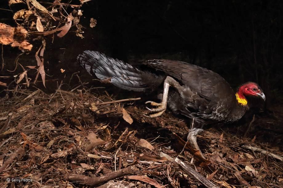 """O peru-do-mato australiano, ao contrário da maior parte dos pássaros, não incuba seus ovos com o calor do próprio corpo. Ele prefere construir uma espécie de forno, que tem mais de um metro de altura e é aquecido a exatos 33º pelo calor do sol e matéria orgânica em decomposição. O processo é supervisionado pelo macho, e não pela fêmea. A foto venceu a categoria """"comportamento: pássaros""""."""