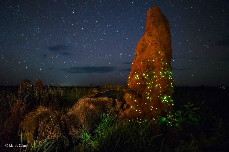 A foto foi feita no Parque Nacional das Emas, em Goiás, por um brasileiro. Após uma chuva, um tamanduá se prepara para devorar uma pequena população de insetos bioluminescentes – isto é, que produzem a própria luz.