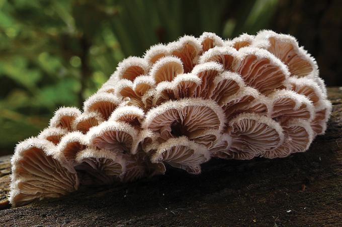 Este fungo tem 23 mil sexos