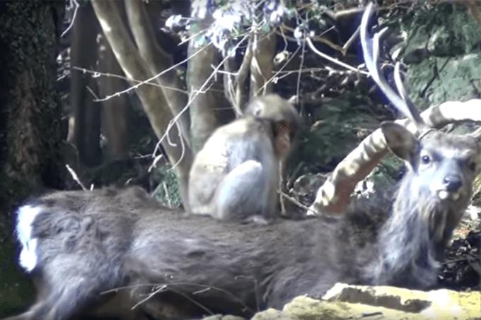 macacos estão transando com cervos em parque no Japão