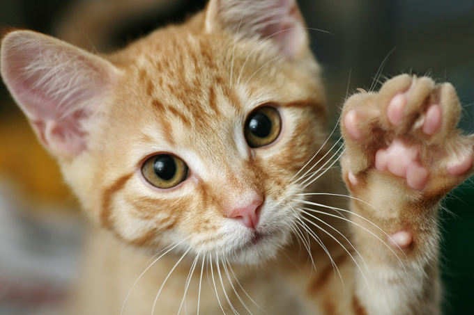 Assim como humanos, gatos podem ser destros ou canhotos
