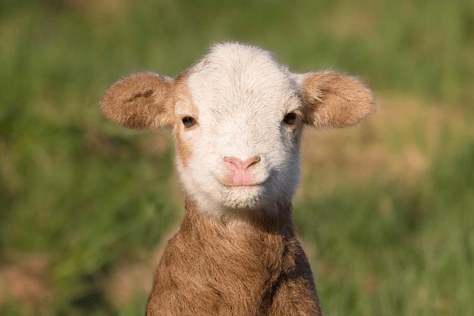 Cientistas criam embriões de ovelha com células humanas
