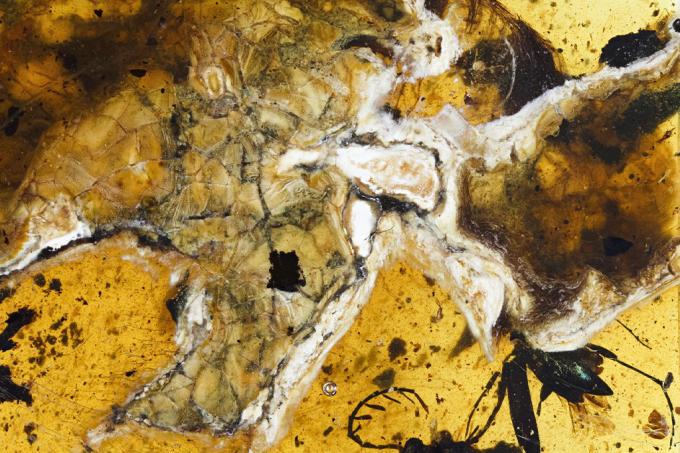 Encontrado fóssil perfeito de pássaro com 99 milhões de anos