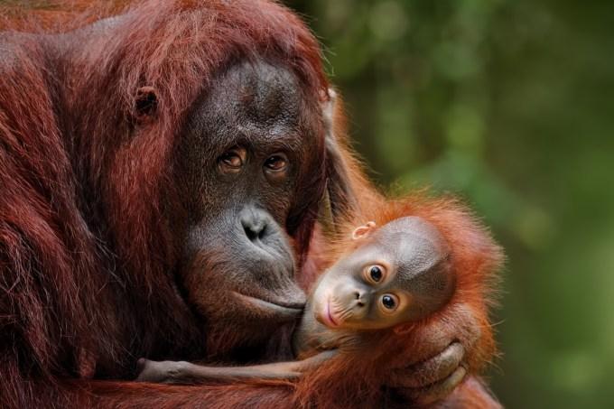 orangotango_amamentacao_home