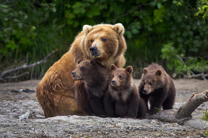 Ursas estão virando melhores mães – por causa dos humanos