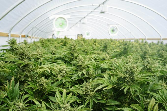 Pesquisadores pedem cultivo de maconha para pesquisa