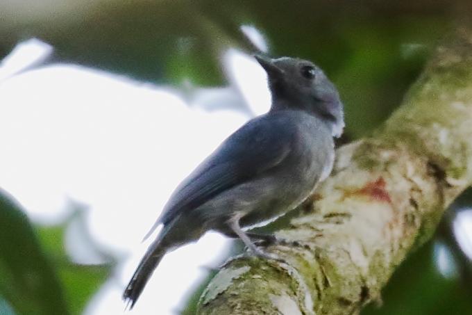 Passarinho vigia amazônico salva outros pássaros de predadores