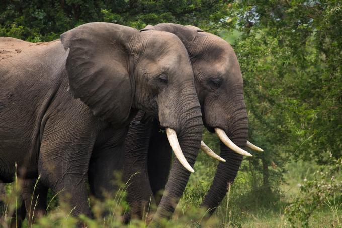 Podemos ouvir elefantes com ferramentas que detectam terremotos