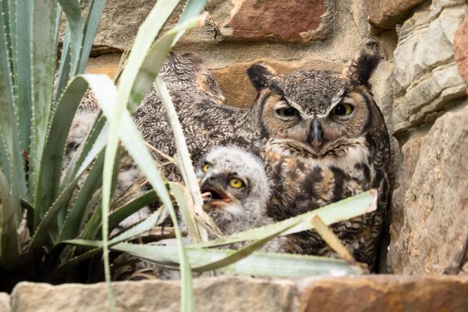 Primeira família de corujas com 2 mãe e 1 pai já vista