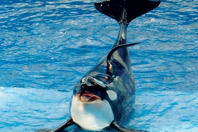 Por que as orcas são chamadas baleias assassinas?