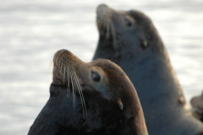 California sea lions Astoria
