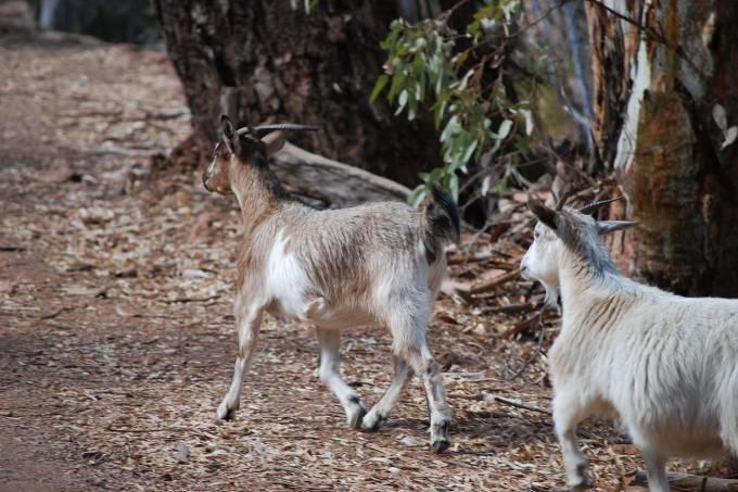 1280px-goats_-_wilpena_pound