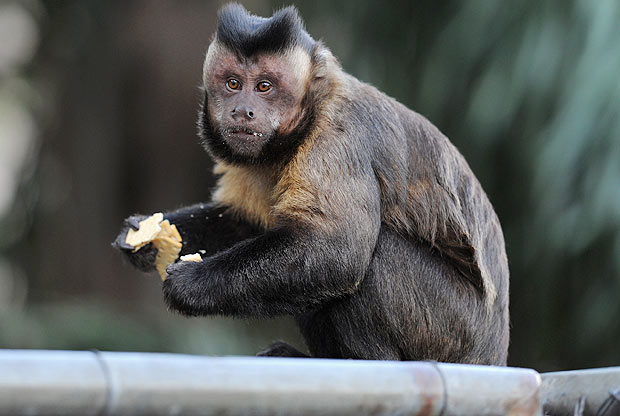 pagar-o-mico-macaco-comida-brasil-animal-bicho