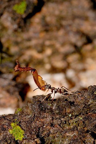 formiga-carrega-inseto-floresta