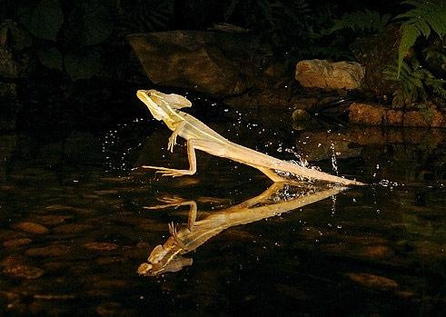 correr-sobre-a-água-lagarto Basiliscus Jesus Christ Lizard