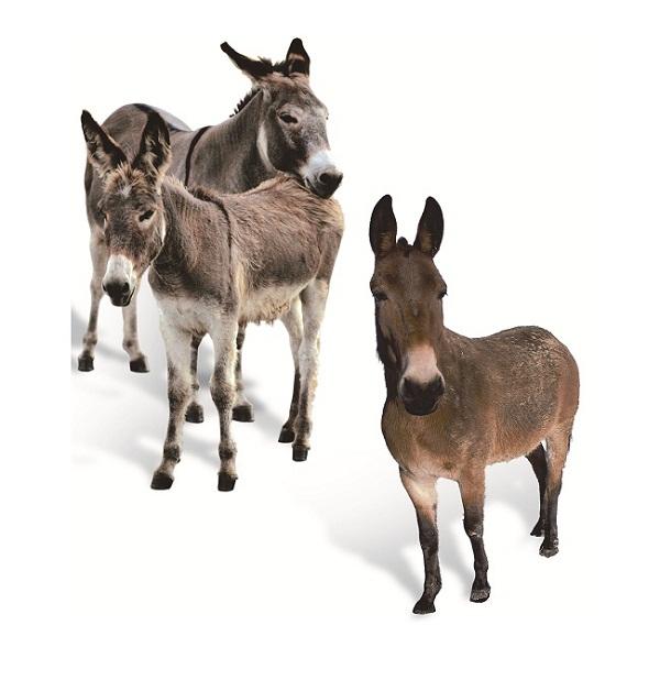 qual-a-diferenca-entre-jumento-mula-burro-jegue-e-asno