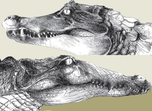 qual-e-a-diferenca-entre-crocodilo-e-jacare