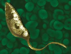 pior-parasita-leishmania-sp