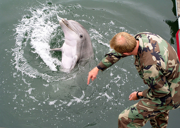 520953bc865be21cbf0000f1800px-military-trained-dolphin.jpeg