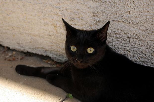 521d16899827680ada00068bblack_cat.jpeg