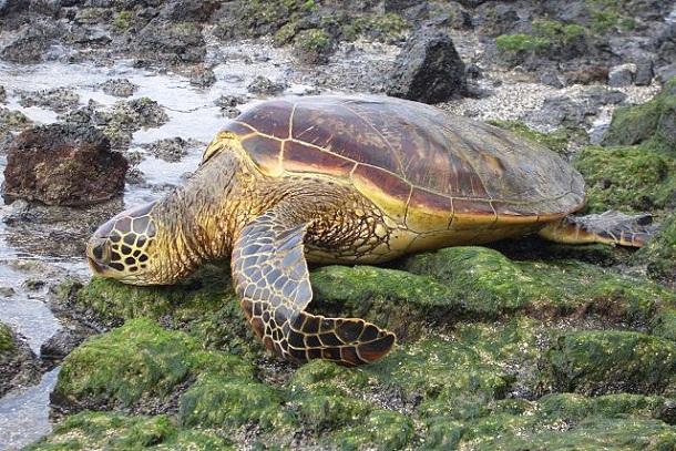 5238ba70865be2329600012a640px-green_sea_turtle_dec_05.jpeg