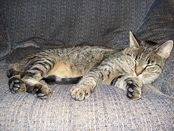 640px-Fat_cat_sleeping