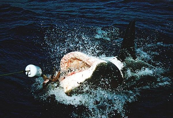 52434d33982768548d000e03great_white_shark_at_his_back.jpeg