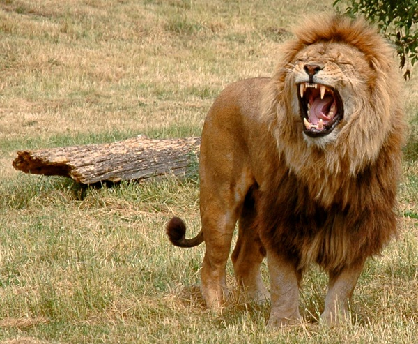 Just_one_lion