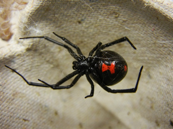 52603a63982768382800006dadult_female_black_widow.jpeg