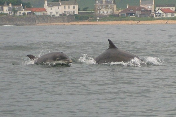 Bottle_nose_dolphins_in_Elie_Bay_-_geograph