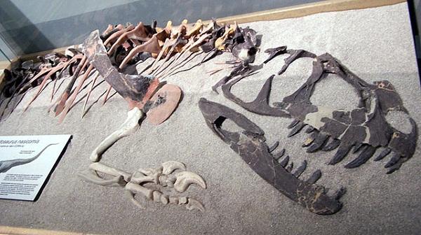 Ceratosaurus_nasicornis_(partial_fossil)