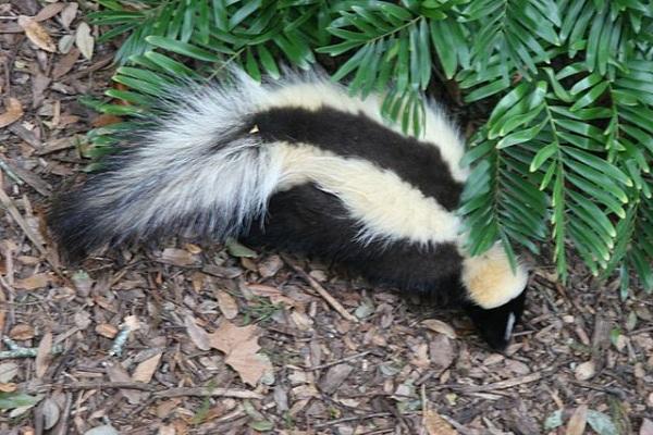 640px-Striped_skunk_Florida