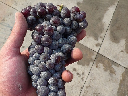 800px-Nebbiolo_cluster_in_hand