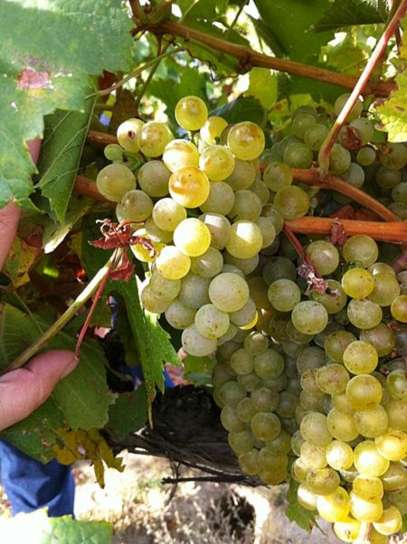 448px-Chardonnay_clusters