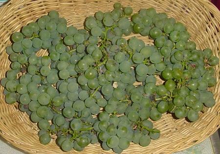 5277de01982768554c024708800px-niagara_grapes.jpeg