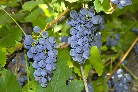 Red_Grape_-_Vitis_labrusca_-_Kiszombor,_Hungary