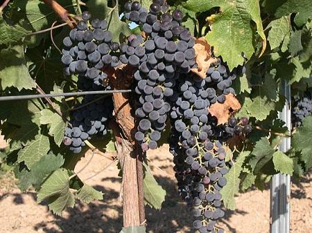 640px-Merlot_Grape
