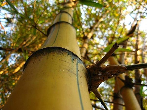 52a8ca39982768382400013e640px-bambu-imperial-detalhe.jpeg