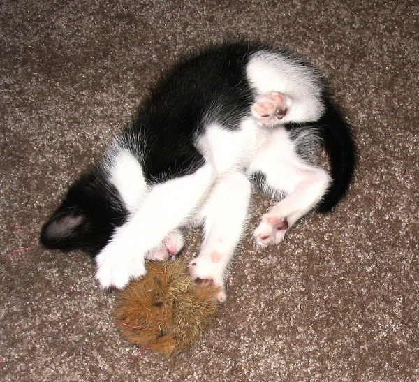 842px-Kitten_playing_with_furball_overhead